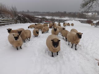 Pen of ewes at Llanybydder