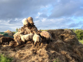 Lambs on silage pile