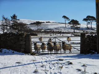 Lesser Moorguards Ewes by gate