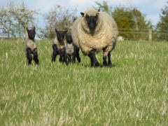 Lambing Time - Clover
