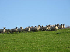 ewes on horizon